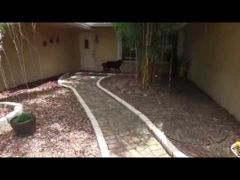 Diesel The Rottweiler runs from a drone