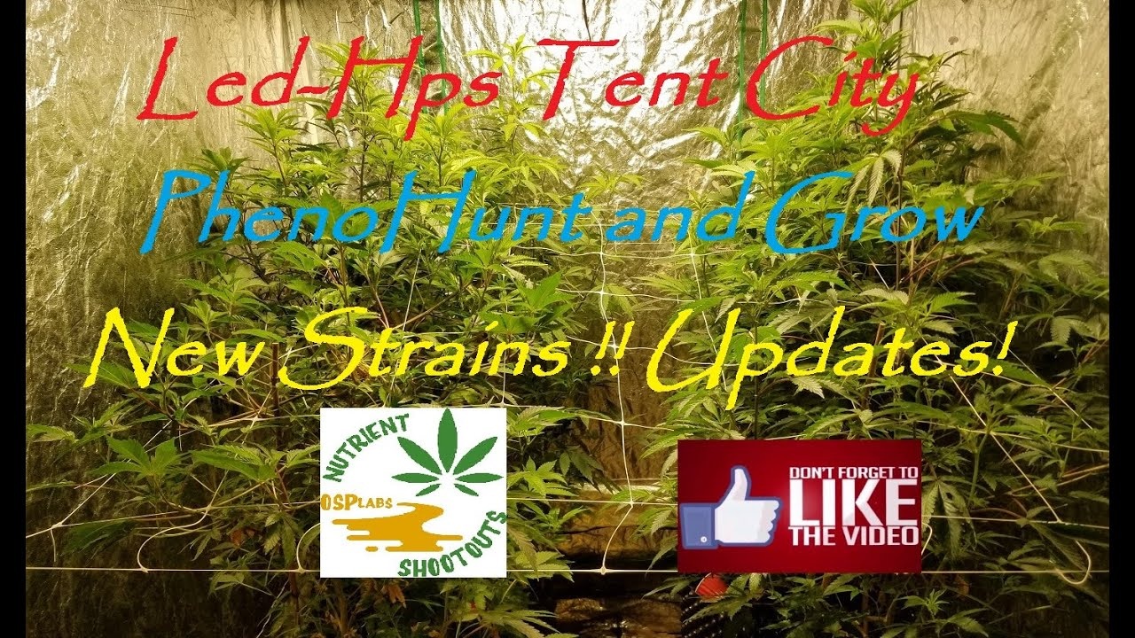 Led-Hps Tent City, Pheno Hunt and Grow, New Strains and Updates!