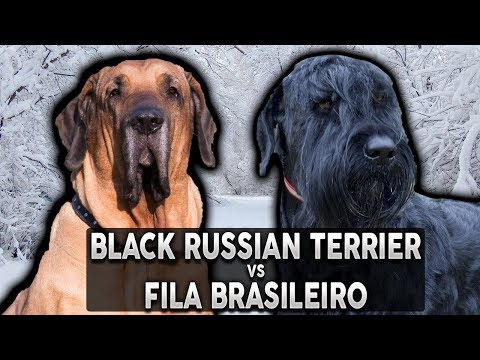 BLACK RUSSIAN TERRIER VS FILA BRASILEIRO! The Best Guard Dog Breed For First Time Owners!