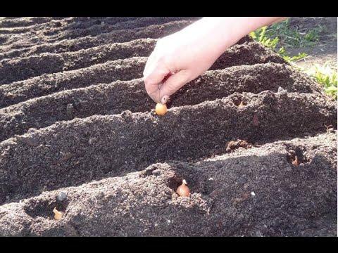 Китайский способ посадки лука,лук в гребнях..