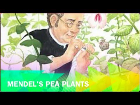 8LS 1.1 Mendel's Pea Plants