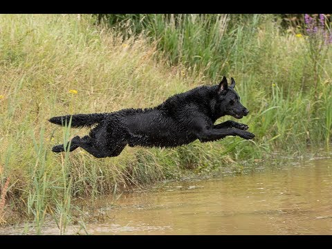 gundog-training---wirral-gundogs-training-ground