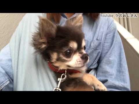 スリングに入りたいチワワのラズおじさん【犬】