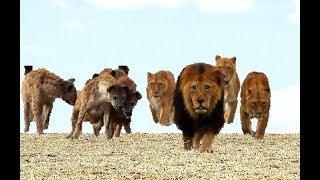 巨大なオスのライオンがハイエナを破壊する.