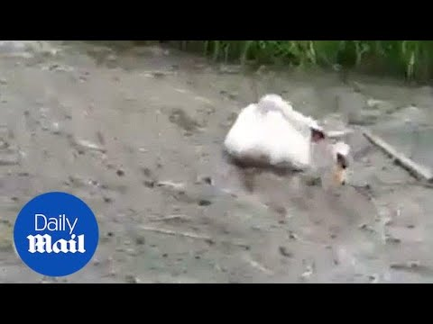 Swan desperately tries to free friend buried in silt - Daily Mail