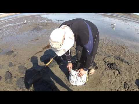 geoduck clam digging in california