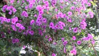 Цветы сентября!  Мой сад в цвету!(Цветение растений всегда прекрасно! https://www.youtube.com/watch?v=7hRQrrkzxM4 Но в каждый сезон цветущий сад выглядит по..., 2016-09-08T15:05:50.000Z)