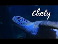 Chely the Sea Turtle