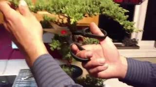 How to Trim a Bonsai Juniper