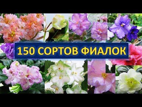 150 сортов ФИАЛОК -  СИНИЕ-СИРЕНЕВЫЕ СОРТА
