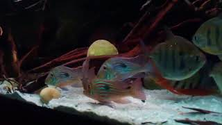 Metynnis and Geophagus in 200 g tank