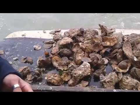 Colchester Oysters