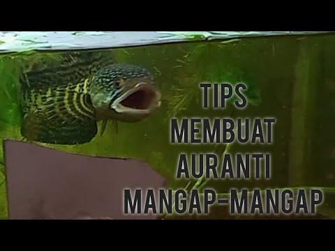 cara-membuat-auranti-mangap-mangap-dalam-waktu-3-bulan-saja❗
