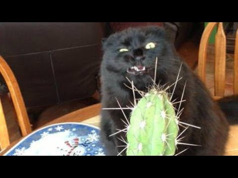 Funny BLACK cat video compilation  –  It's HARD to Hold your LAUGH