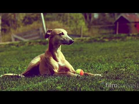 Whippet - Dogs of Ancient Egypt