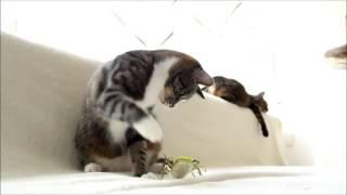 Два кота в доме  Смешные коты