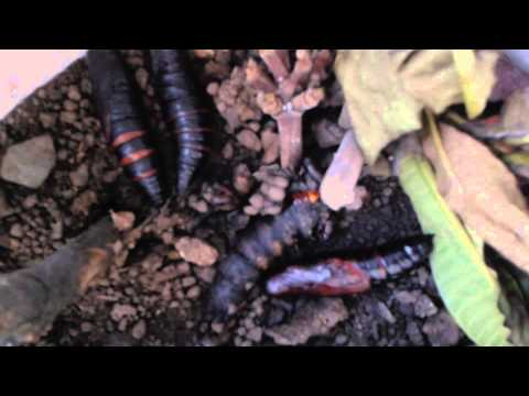 Polilla Orden Lepidoptera