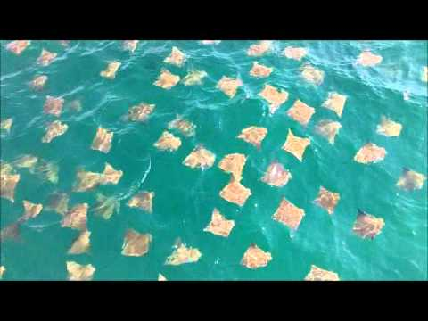 Stingray Migration in Destin Florida