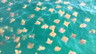Stingray Migration 2012 Destin Florida