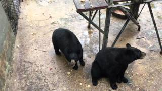 GEORGIA BLACK BEAR CATCHES GRAHAM CRACKERS IN IT