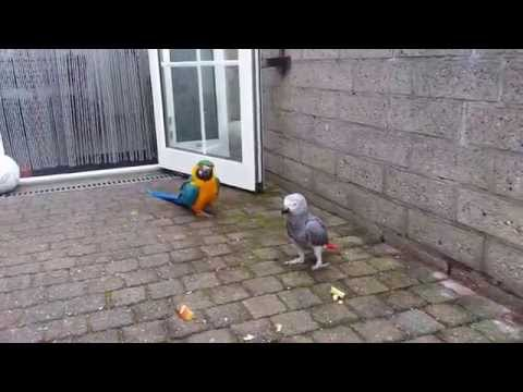 Blauwgele Ara Jago & Puck en Flip & Lobke buiten (13 april 2014)