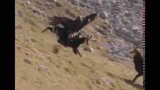 Eagle Lifting Goat !