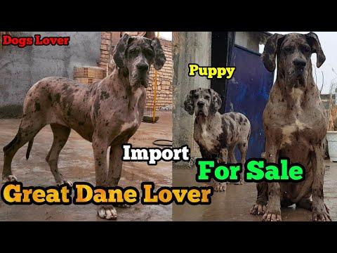 OMG Import Harley Quinn Great Dane Puppy For Sale    Jarur Dekhe Ek Bar Ultimate Quality Puppy 🐶