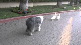 The Story of 5 ducks & Gracie ( dog )