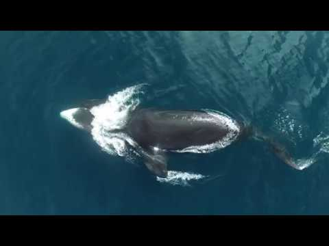 Bowhead Whale Research Drone Video 2016