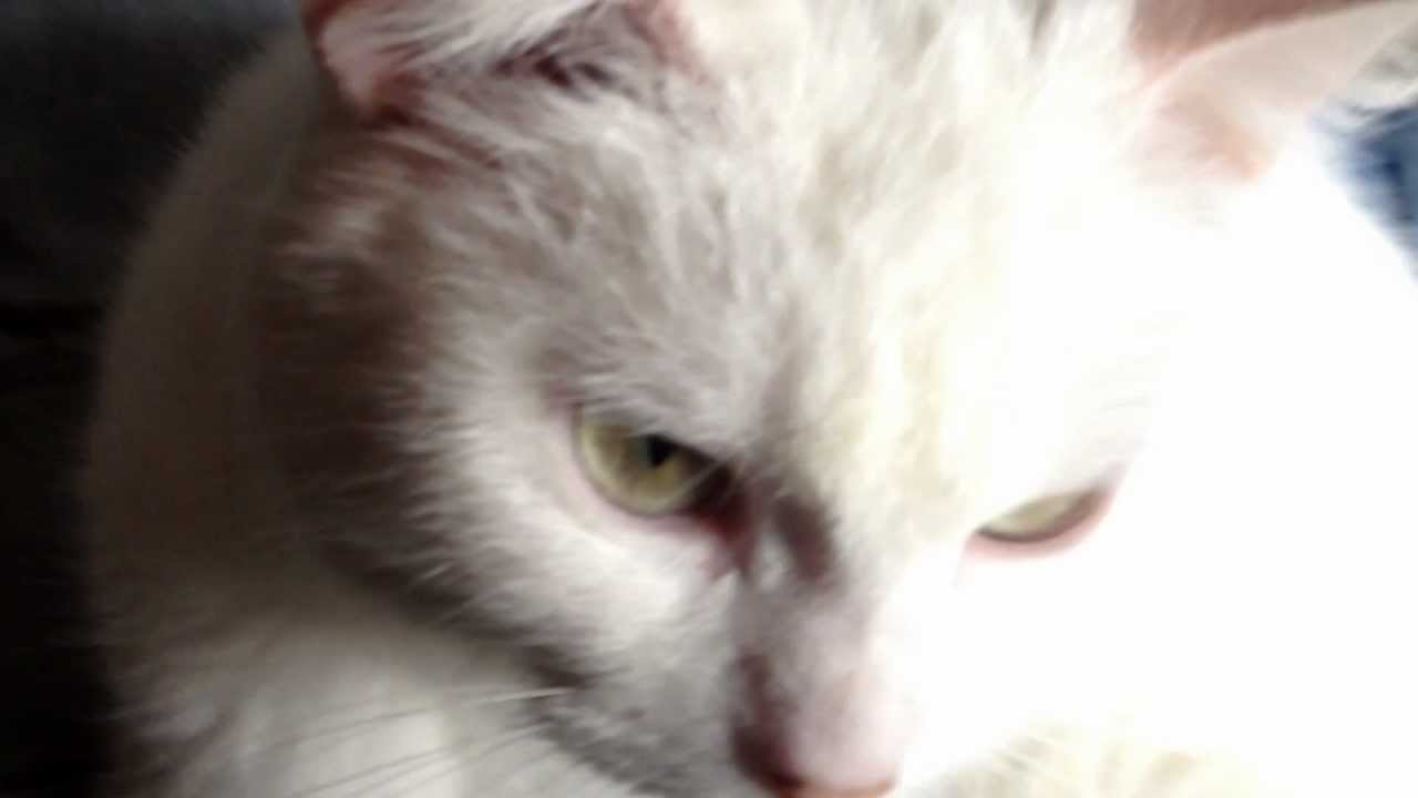 Siamese & Persian Crossbreed my white kitten HD 3D