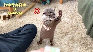 Otter Kotaro&Hana Don't Touch My Toy!