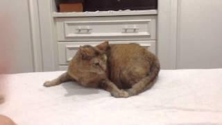 A cat angry with her own tail. Puminha gata com raiva do próprio rabo.