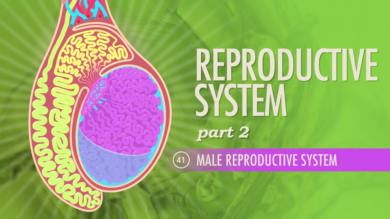 Reproductive System Part 2  Male Reproductive System Crash Course AP 41  YouTube