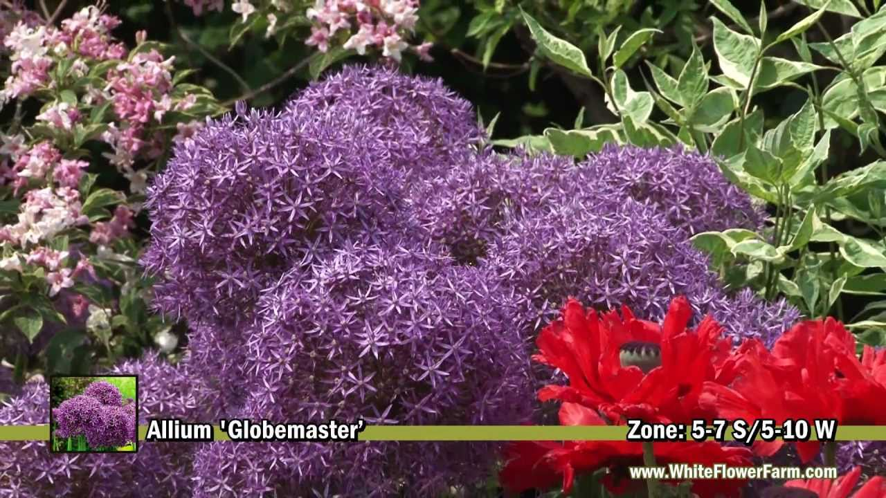 Allium Globemaster From White Flower Farm Youtube