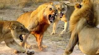 Трек бои животных