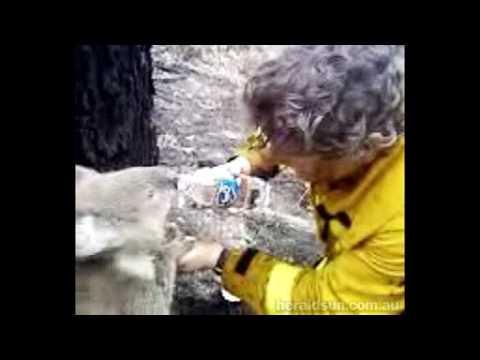 Thirsty Koala - A Firefighter Gives Koala A Drink (2009 Australian Bushfires)