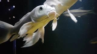 [아쿠아리움] 신비한 물고기 플래티넘 버터플라이 코이 …