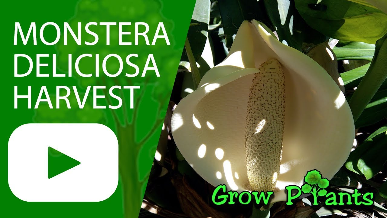 monstera deliciosa growing care harvesting edible fruit youtube. Black Bedroom Furniture Sets. Home Design Ideas