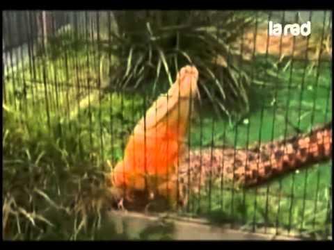Cocodrilo Naranja