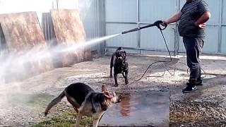 Прикол Собаки и керер