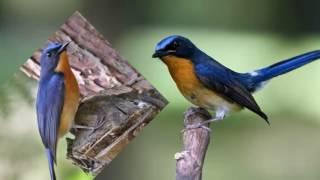 suara nguling josss burung[ tledekan]!!!.. cocok buat masteran burung.