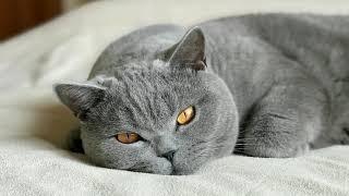 Любимые места для сна и поведение БРИТАНСКОГО кота Гарри/British Cat