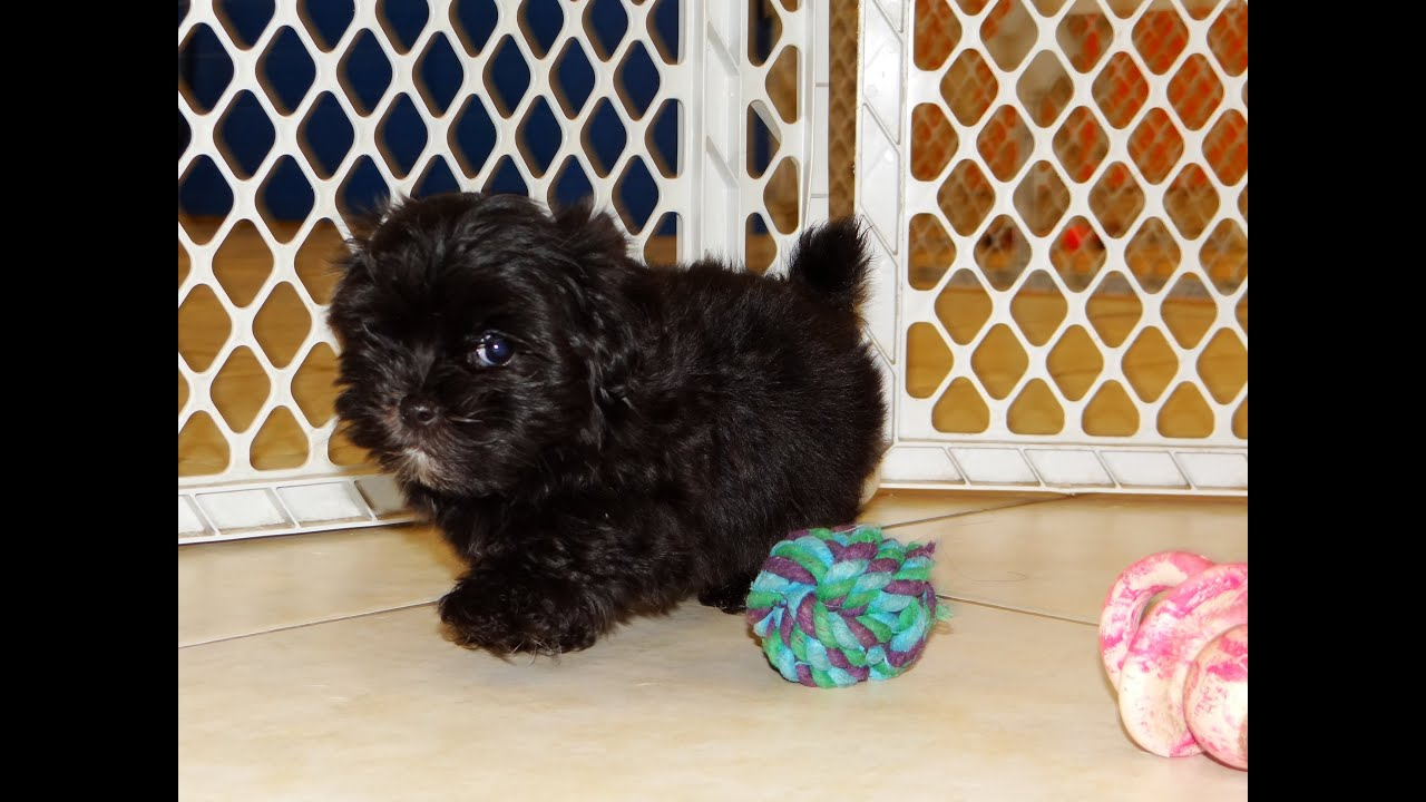 Havatese Puppies Dogs For Sale In Virginia Beach Virginia VA