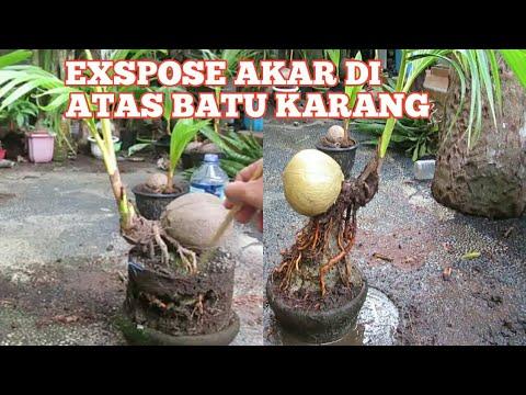 Exspose Akar Bonsai Kelapa On The Rock Youtube