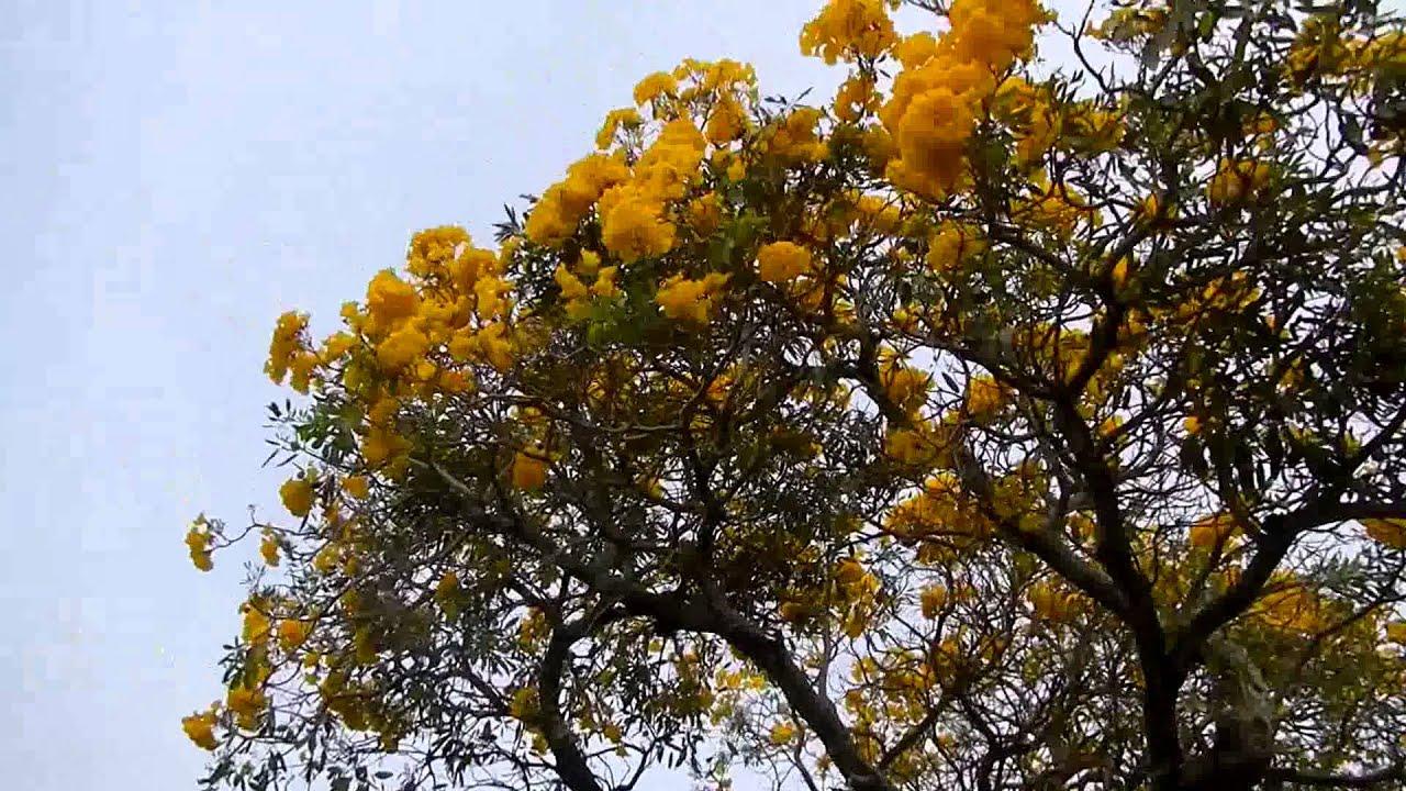 Tabebuia tree blooming yellow flowers greenacres fl youtube tabebuia tree blooming yellow flowers greenacres fl mightylinksfo