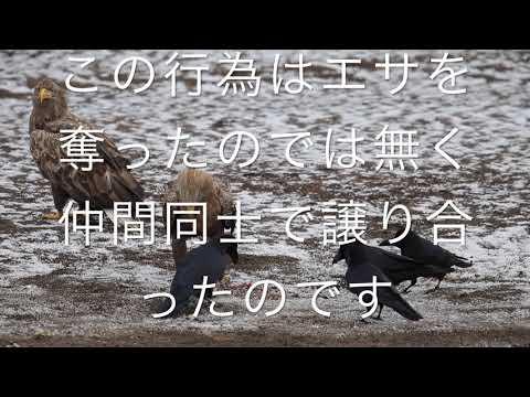 越冬するオジロワシ、動画です。