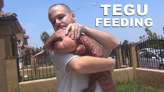 ☜ Argentine Red Tegu Lizard Feeding