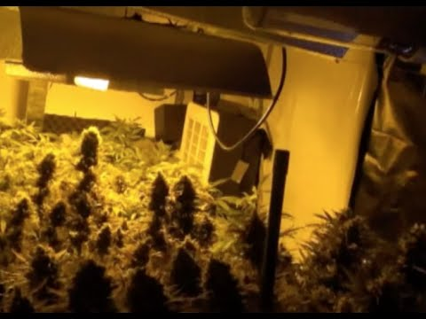 Australian Man Detained for Growing Indian Hemp in Apartment Rooms in E China