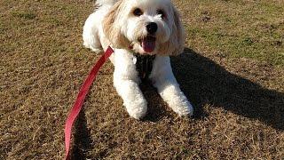 Yoshi - Cavachon - 3 Weeks Residential Dog Training