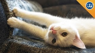 How To Stop Your Cats From Scratching Furniture Jackson Galaxy